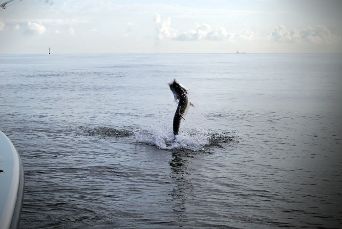 Tarpon tuna fishing venice la offshore charter for Venice louisiana fishing