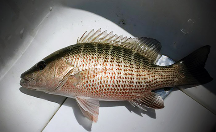 Image gallery mangrove snapper for Snapper fish florida