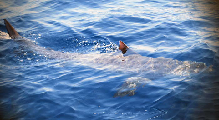 Inshore sharks tuna fishing venice la offshore for Venice la inshore fishing