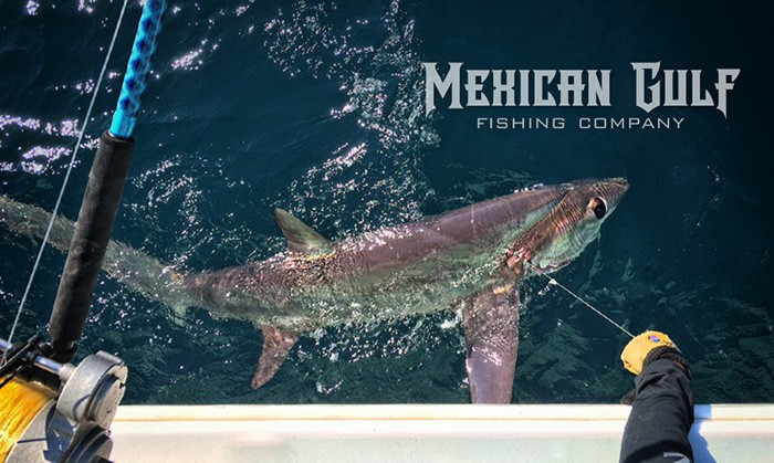 thresher sharks gulf of mexico. Capt. Jordan Ellis, MGFC. Venice, LA