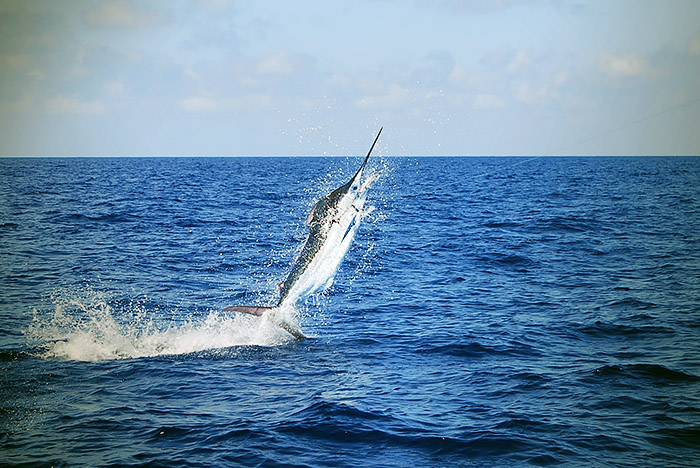 blue marlin photo - mexican gulf fishing company, venice, la