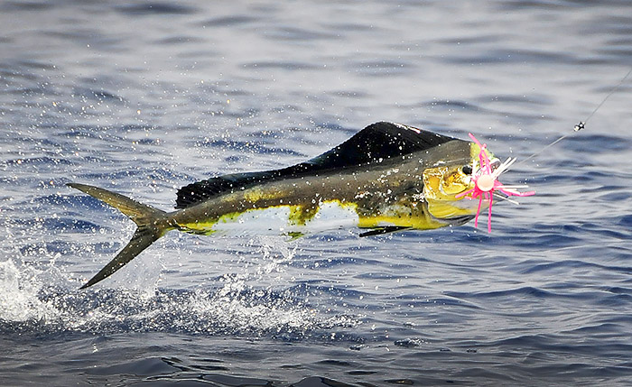 mahi-mahi photo, louisiana, mexican gulf fishing, venice, la