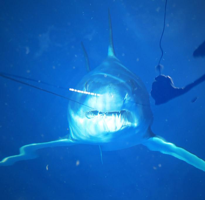 mako shark photo - mexican gulf fishing co, venice, la