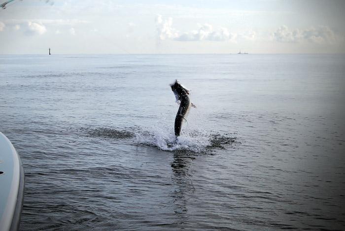 tarpon photo. tarpon fishing in louisiana.