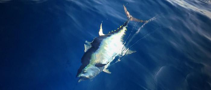 yellowfin tuna photo winter time. mgfc