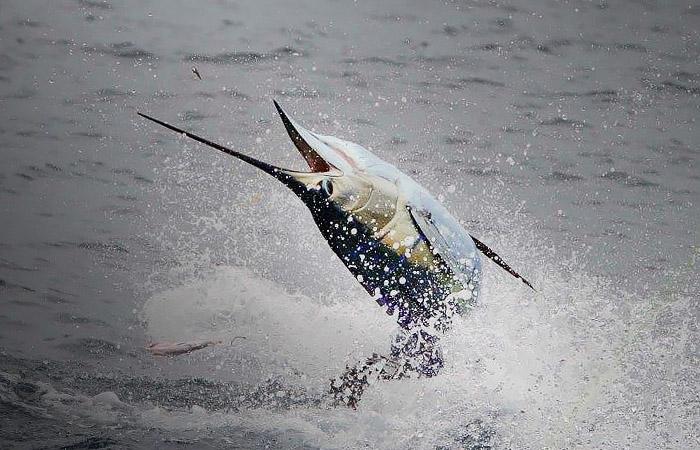 sailfish photo venice, la