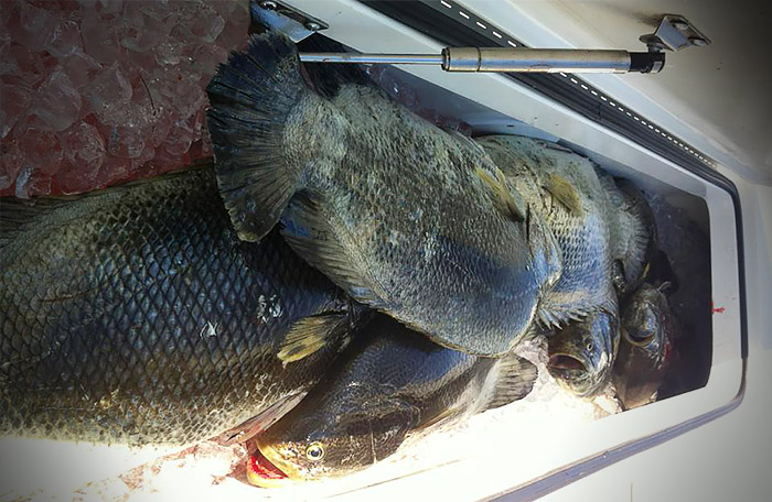 tripletail photo louisiana, mgfc.
