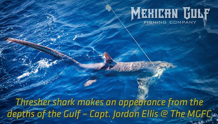 thresher sharks Louisiana gulf of Mexico. MGFC photos. Capt. Jordan Ellis